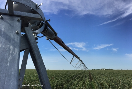 pivot-sprinkler-base-over-detassled-corn-sept-2016-jamie-vesay-wm-img_8004