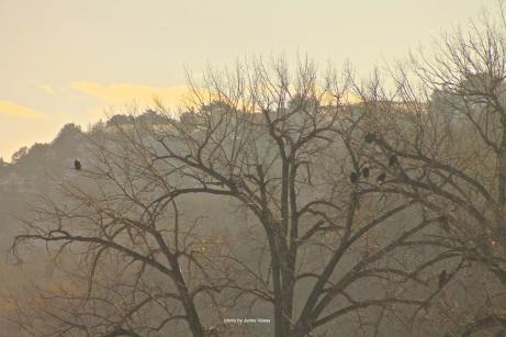 th_eagles-in-tree-lake-og-feb-2017-jamie-vesay-trd-wm-img_3441-version-2
