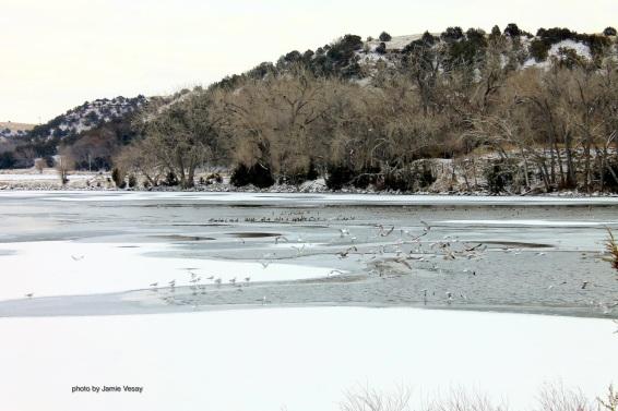 th_seagulls-coots-eagels-lake-og-feb-2017-pm-jamie-vesay-trd-wm-img_3143-version-2